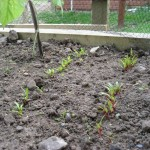 Beetroot and Chard Seedlings