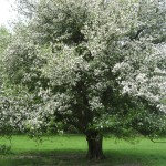 A really big crab apple tree