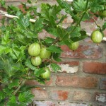 Jumbo gooseberries